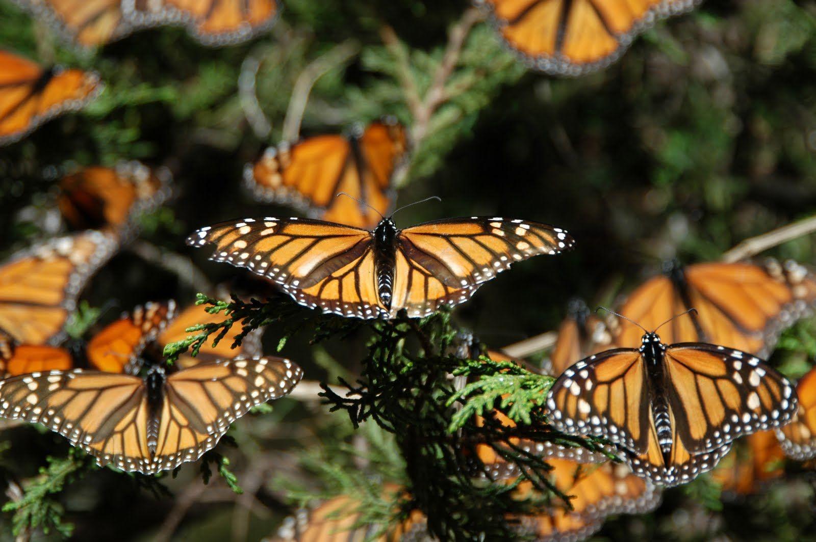 Resultado de imagen para mariposa monarca wallpaper