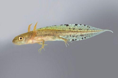 tritó verd - larva