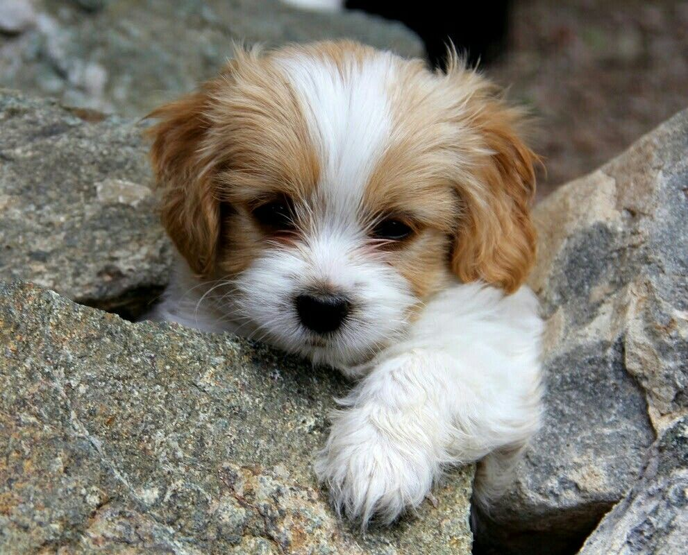 Cavachon Puppies Gorgeous Cavachon Puppies Puppies Cute