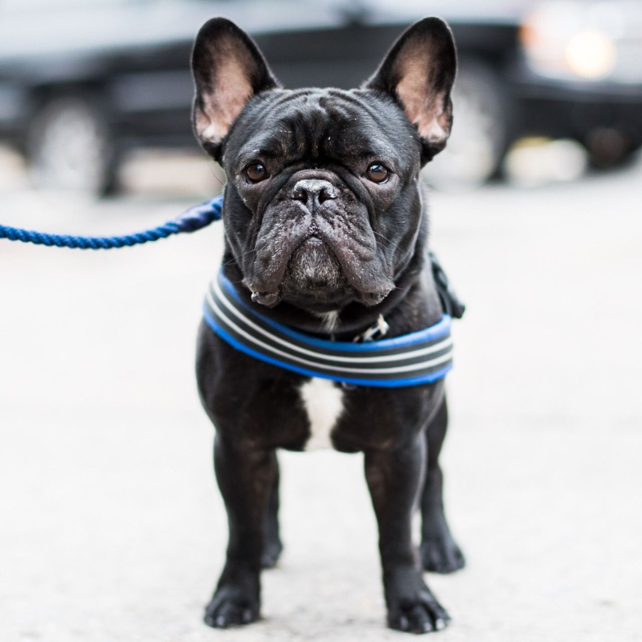 Buckminster Fuller, French Bulldog (3 y/o), 2nd & 1st Ave