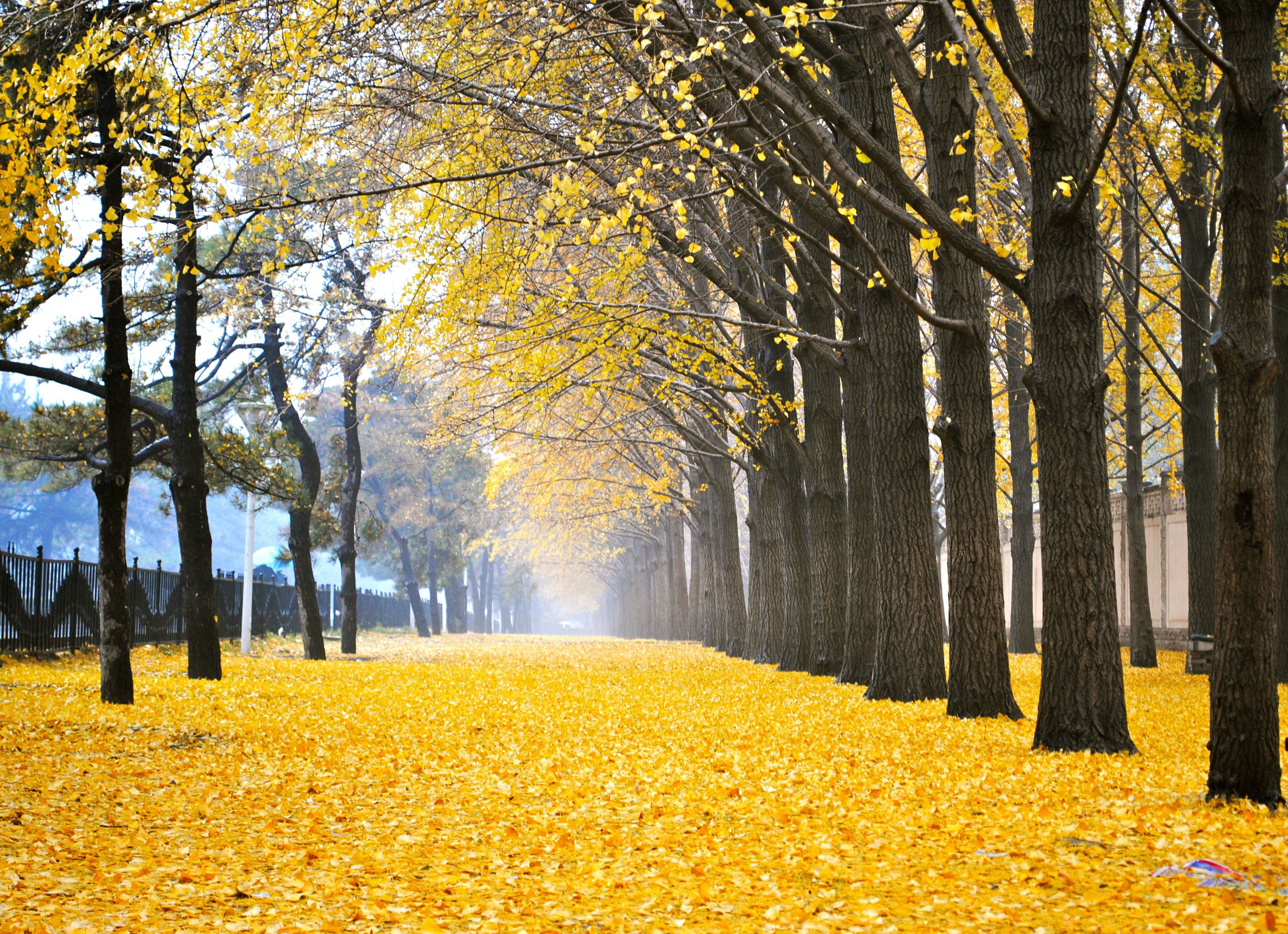 Beautifully colored leaves of Ginkgo Biloba Trees in Beijing, China ...