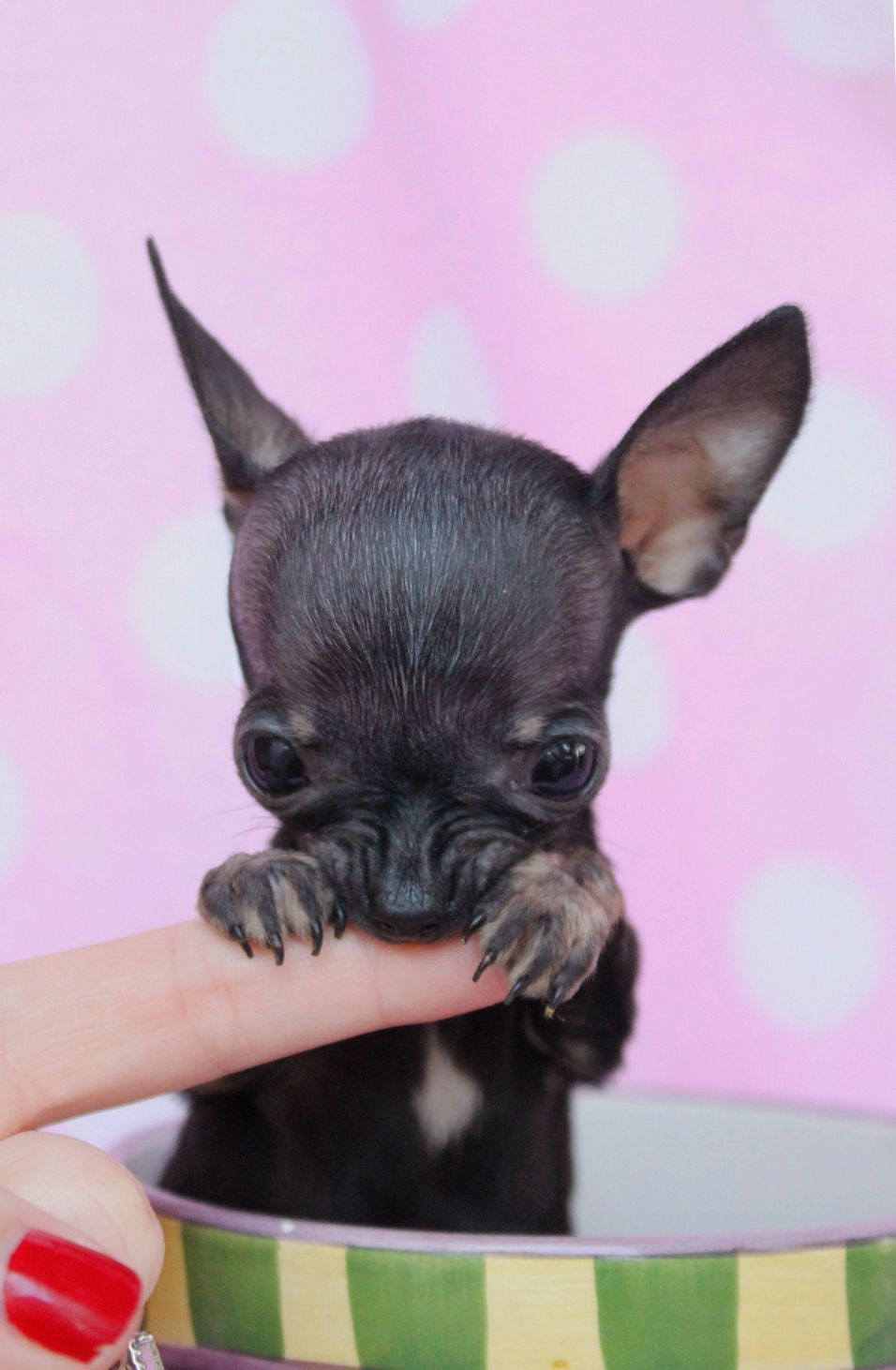 how to train a chihuahua puppy