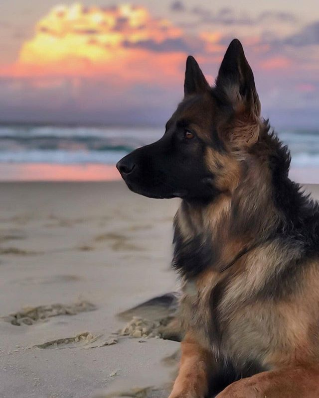 "German Shepherd Dog (GSD) on Instagram: ""The most beautiful sunset for a beautiful girl"