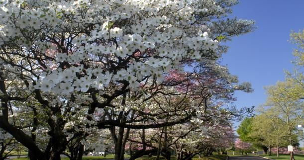 Interesting Facts About Dogwood Trees Dogwood Trees Pagoda