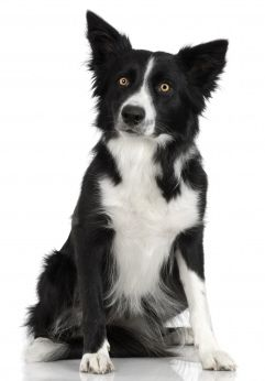 Border Collie puppy dogs