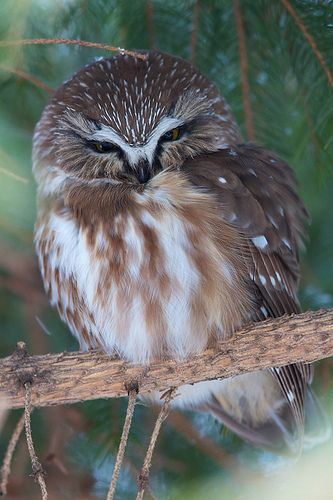 ~~Northern Saw Whet Owl by BTLeventhal~~