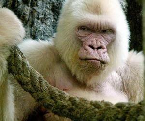 albino-gorilla.jpg (300×250)