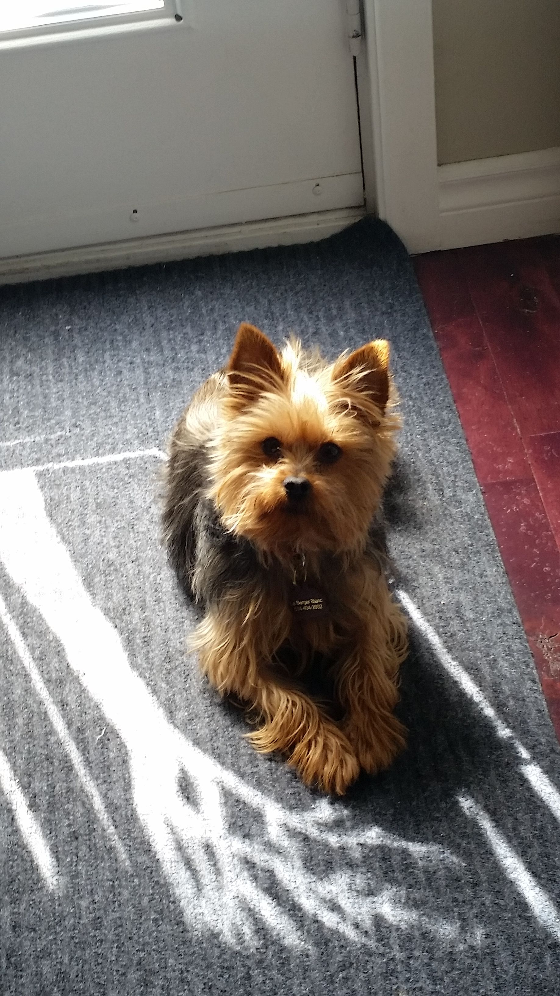 Pin By Sherry Monasterio On Yorkshire Terriers Terrier Yorkshire Terrier Animals
