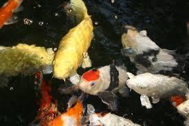 「錦鯉」の画像検索結果