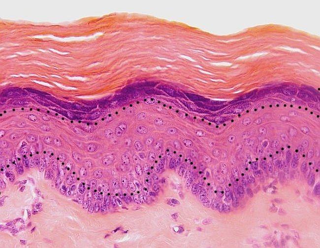 Cuestionarios del tejido Epitelial | Biologia humana | Pinterest ...