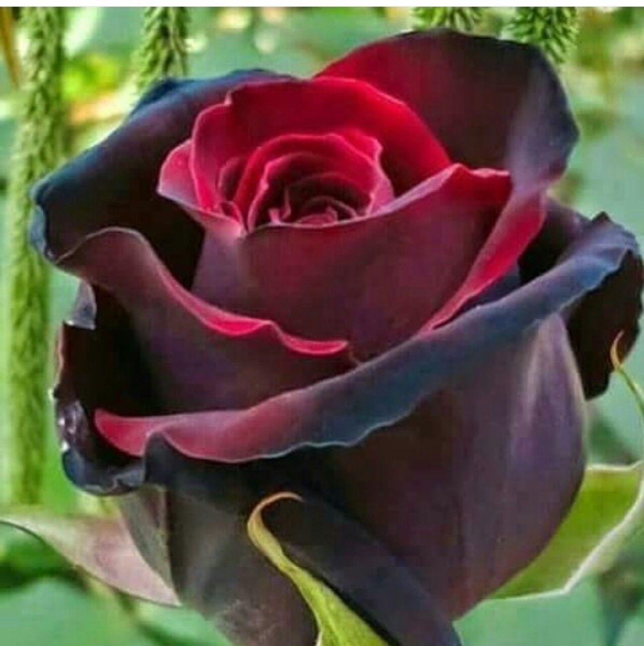 Rose Rampicanti Senza Spine pin di scucusu 🌸 su non c'è rosa senza spine | fiori