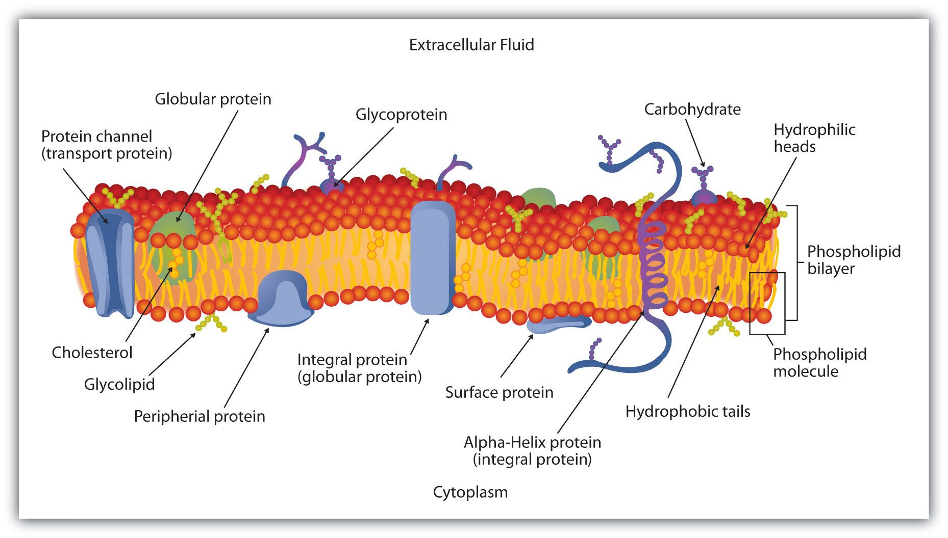 hight resolution of schematic diagram of a cell membrane