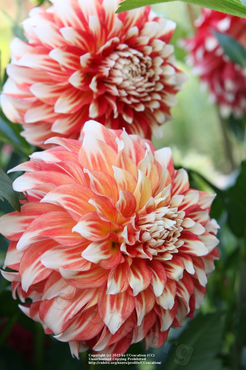 Pin On Dahlia Lust List