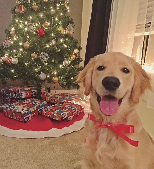 Oshie Golden Retriever Christmas Christmas Dog Golden Retriever