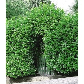 kirschlorbeer hecke 1 pflanze garten heckenpflanzen pinterest kirschlorbeer hecke. Black Bedroom Furniture Sets. Home Design Ideas