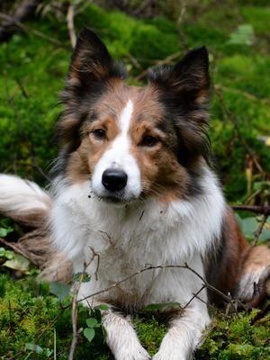 Pedigree Kc Registered Border Collie Puppies In Lydney