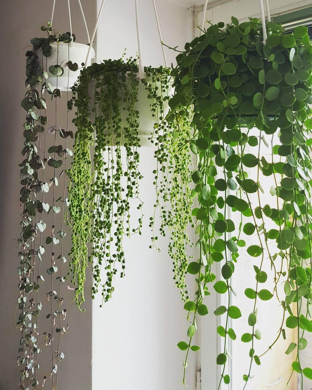 plantas colgantes plantas exterior e interior en 2019 plantas colgantes plantas. Black Bedroom Furniture Sets. Home Design Ideas