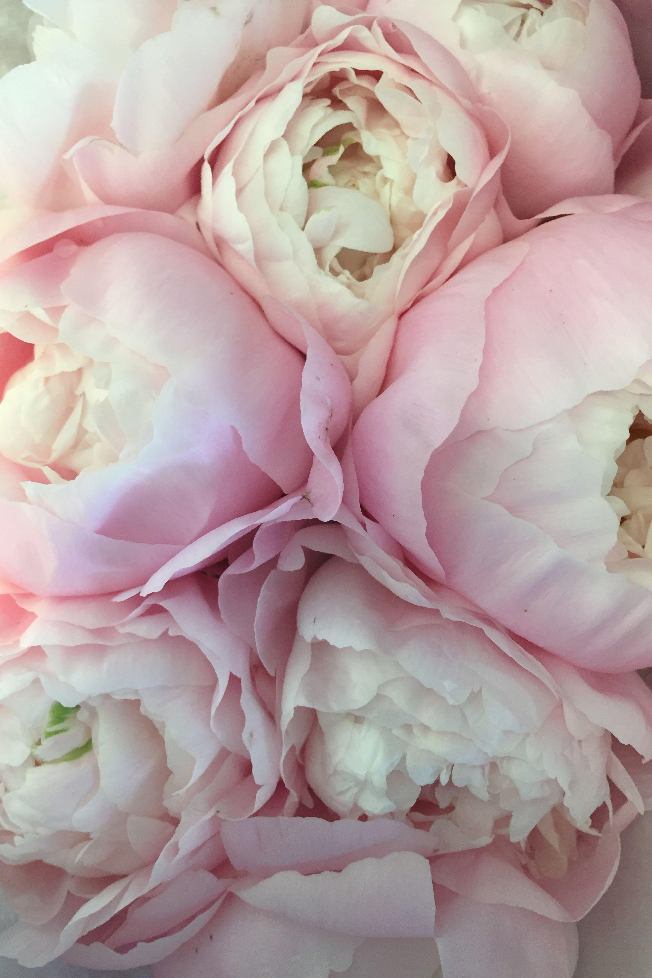 Pale Peonies Darcy Miller Designs Flowers Pink Petals Floral
