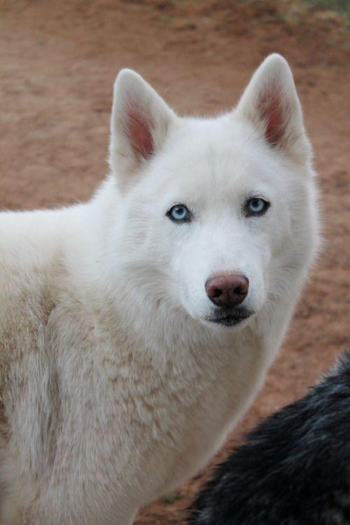 Gentleman White Wolf Albino Animals Animals Beautiful Animals Wild