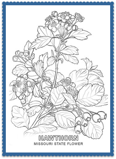Missouri State Flower   USA State Flowers   Flower coloring ...