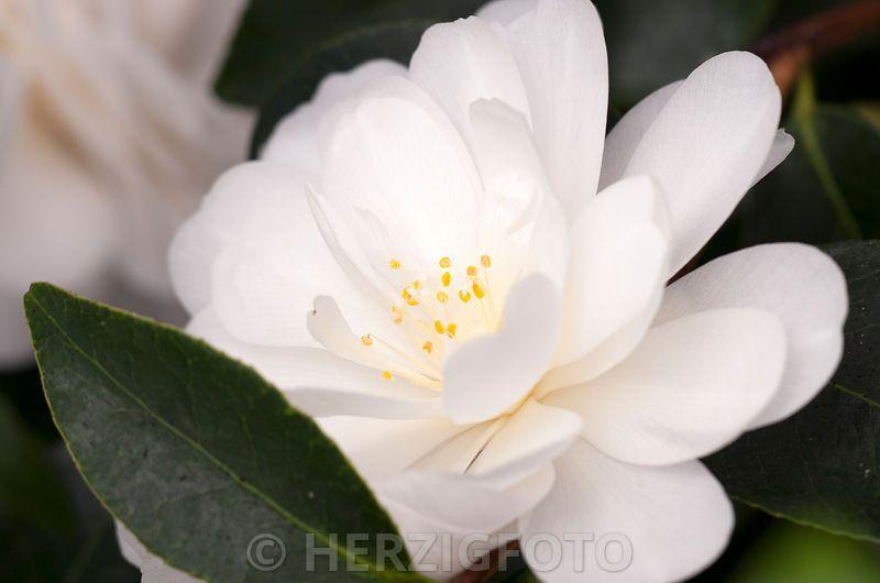 "Camellia  ""Commander Mulroy"" - Kamelie"