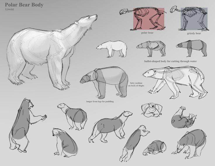 bear anatomy - Google Search | drawing | Pinterest | Anatomy, Bears ...