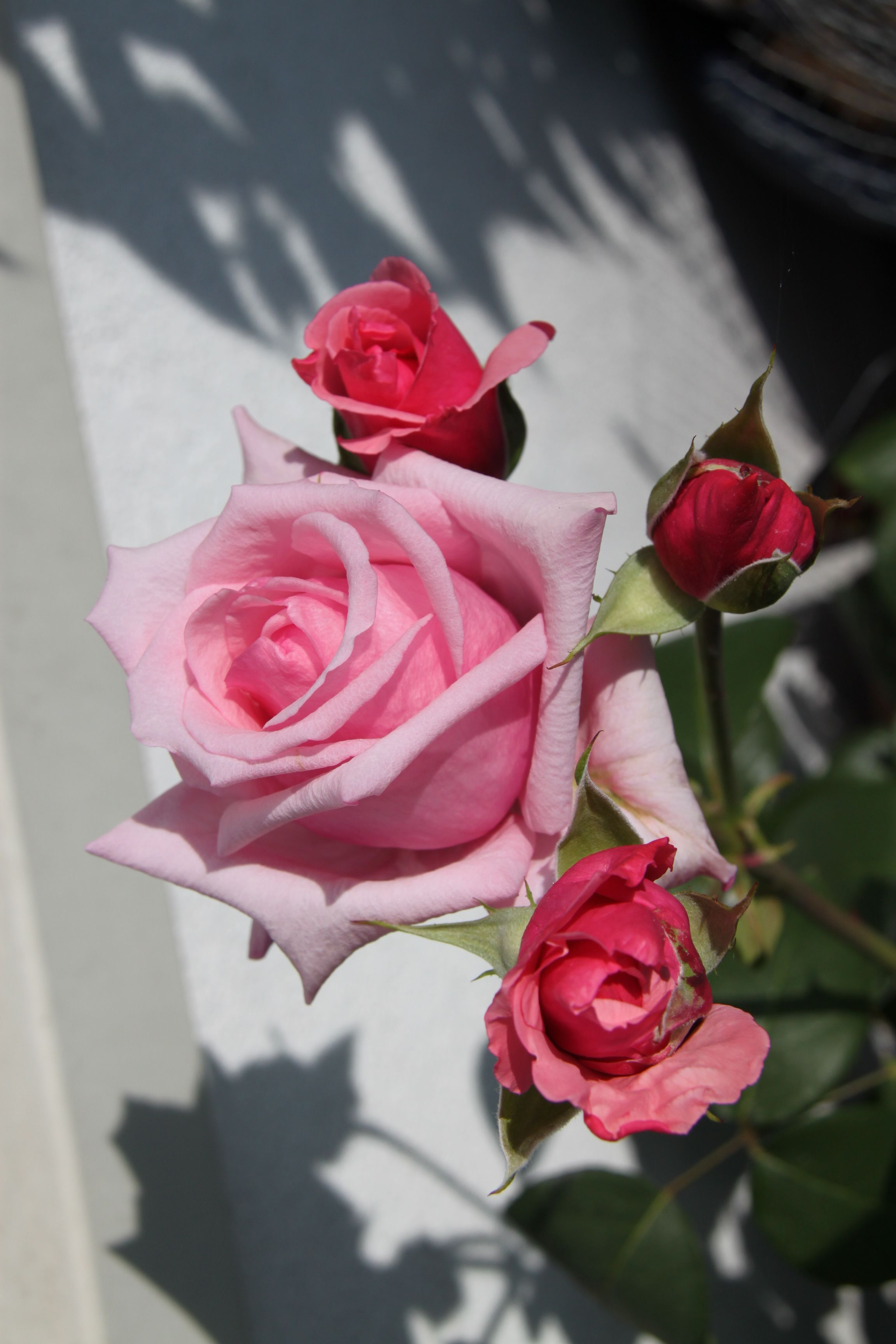 ❤ I love Roses