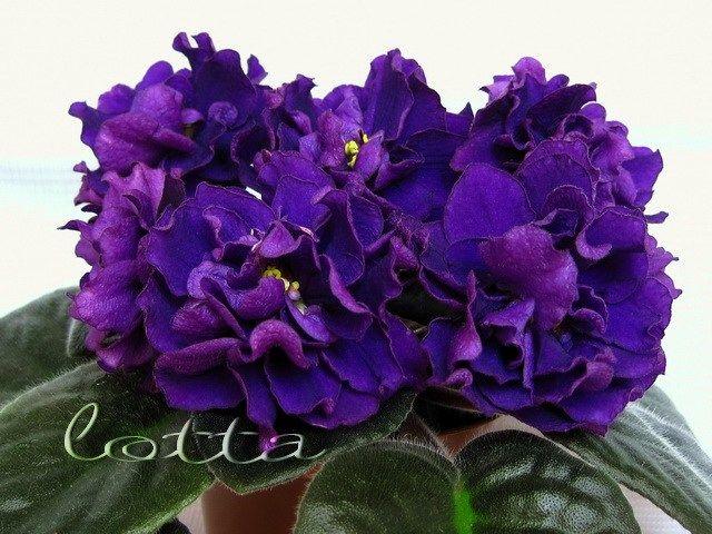ЕК-Черная Жемчужина (Е.Коршунова) Огромные (7см) густо-махровые пурпурно-фиолетовые шары на мощных цветоносах образуют махровую шапку над темно-зелеными листьями. Супер-сорт! 2003