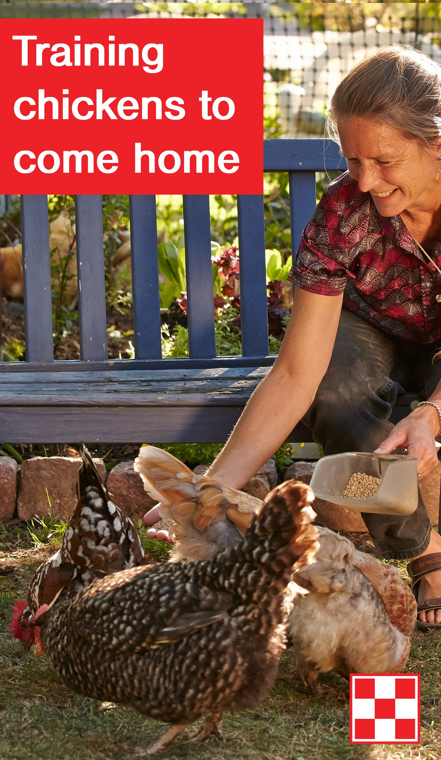 train your backyard chickens to come back to the coop offer
