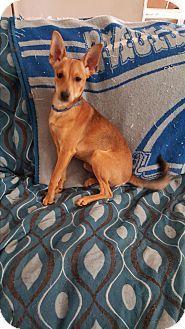 Battle Creek Mi Basenji Chihuahua Mix Meet Blade A Puppy For