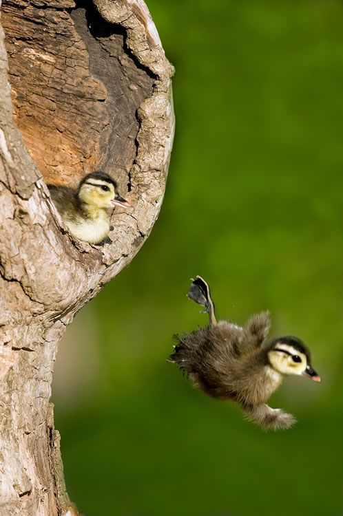 Wood Duck Ducklings Plunging From Their Nest Cavity In A