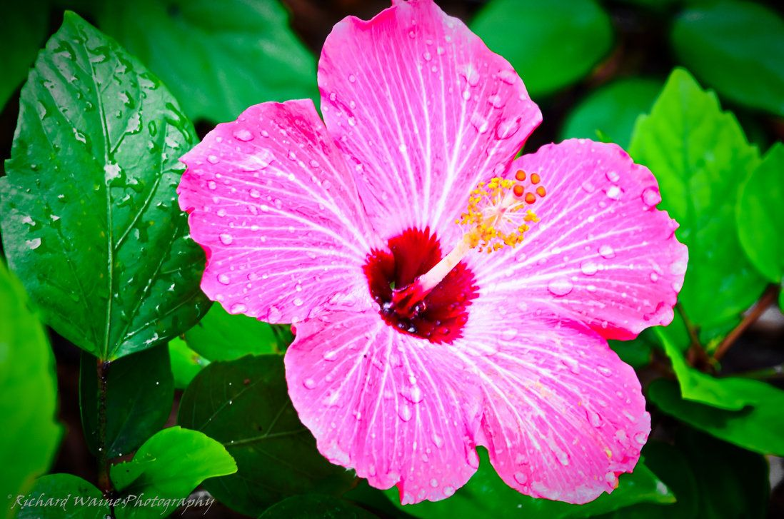 Hawaii Blume Hawaiian Flower Hibiscus Heleconia Hawaiian Flower