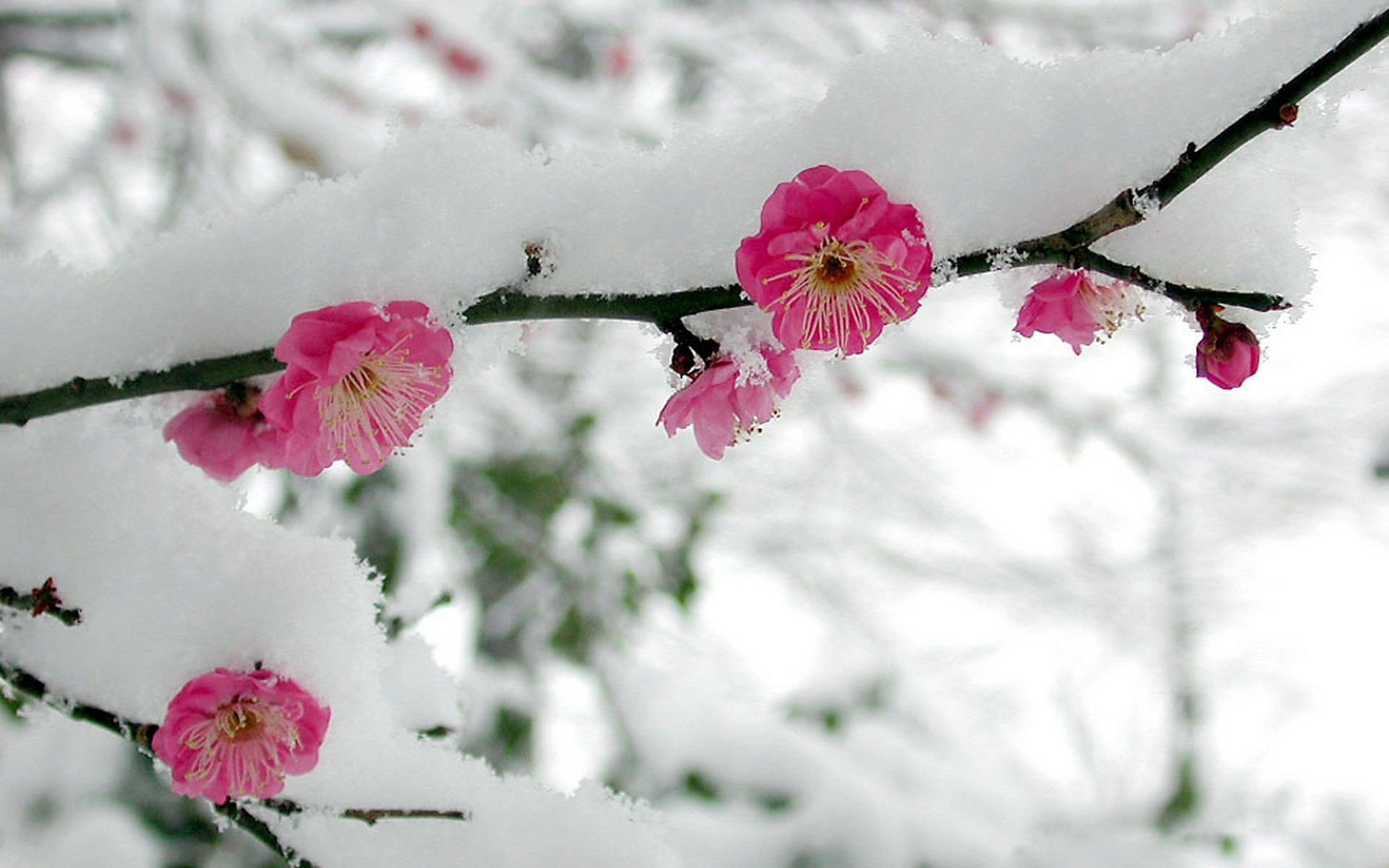 Cherry Blossoms In The Snow Cherry Blossom Flowers Winter Flowers Cherry Blossom Background