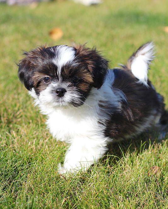 Bichon Shih Tzu Shichon Zuchon Puppies For Sale Quality Bred