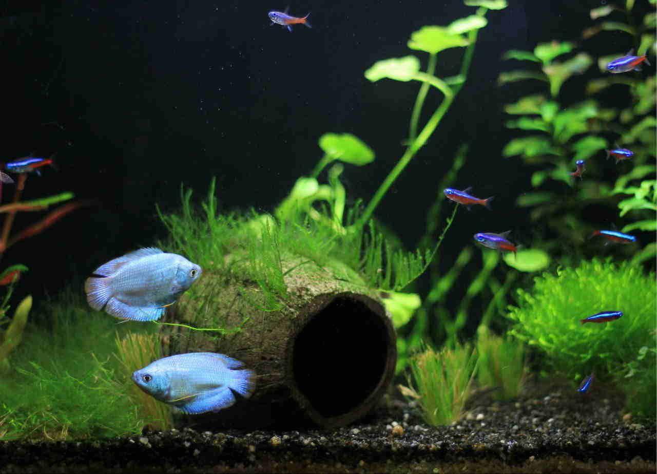 Neon Blue Dwarf Gourami Aquarium Fish Fish Tank Aquascape Aquarium