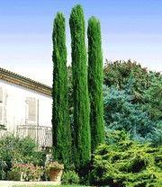 Echte Toskana Saulen Zypresse Garten Cupressus Sempervirens Garden Plants Und Cactus Plants