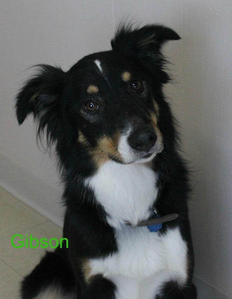 Adopt Gibson On Australian Shepherd Dogs Australian Shepherd Dogs
