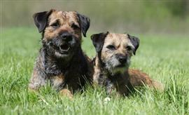 Border Terrier Names At Dognamed Com Border Terrier Brown Dog Terrier