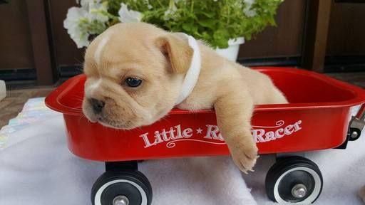 French Bulldog Puppy For Sale In Farmington Mo Adn 32310 On