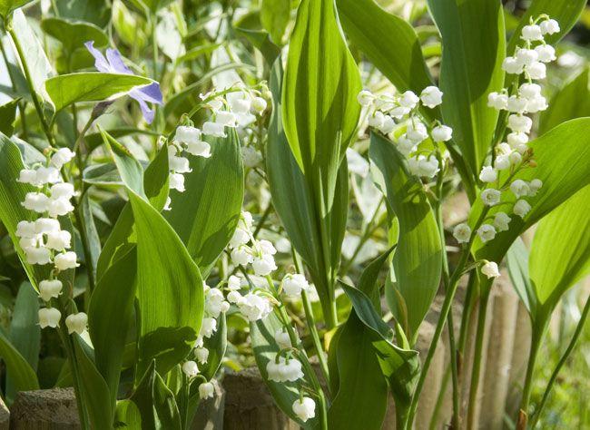Fiche de culture le muguet flowers lily of the valley flowers et plants - Cactus porte bonheur ...