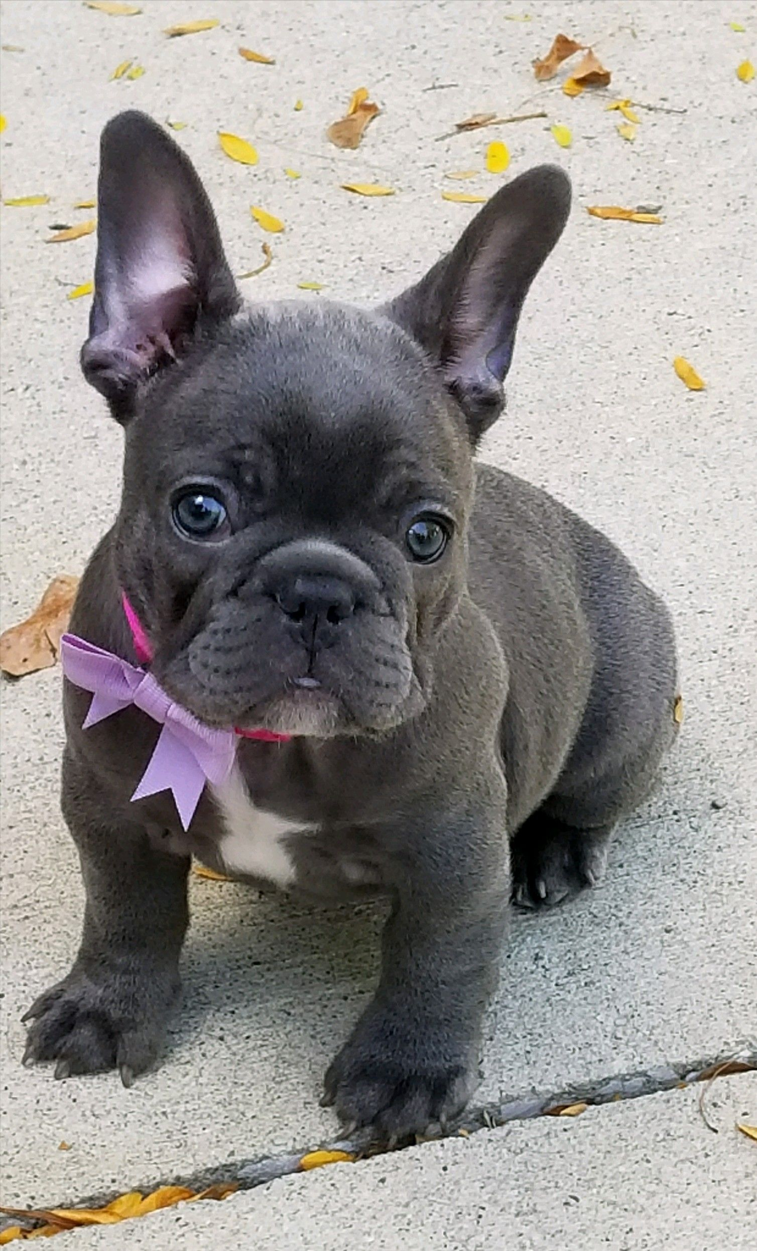 Miss Remy Blue Frenchie French Bulldog Puppies Bulldog Puppies