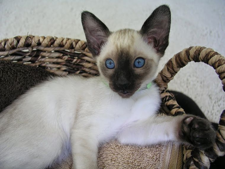 Carolina Blues Cattery Siamese Kittens for Sale Siamese cats