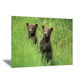 Alaskan brown bear cubs wait in long grass for their mother. Photographer: Michael Melford