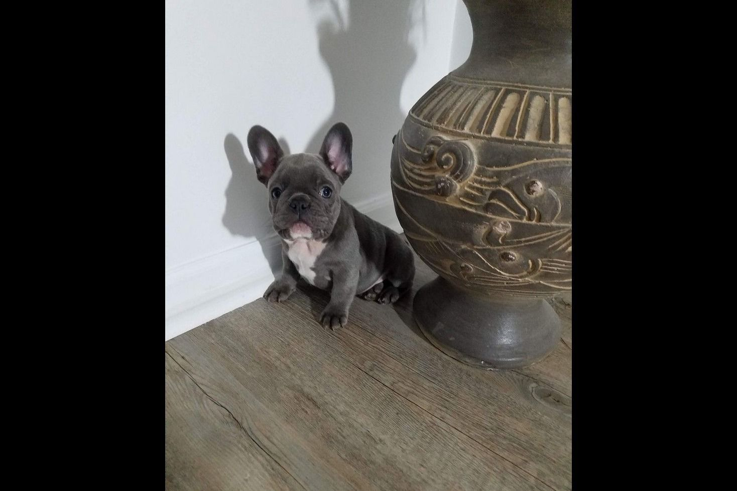 Blueblood French Bulldogs French Bulldog Puppies For Sale Born On 12 13 2019 Blueblood Fr In 2020 French