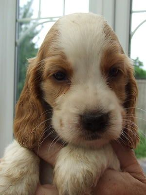 Just Like Penny As A Puppy Orange And White English Cocker Spaniel Google Search Golden Cocker Spaniel Spaniel Puppies For Sale Cocker Spaniel Puppies