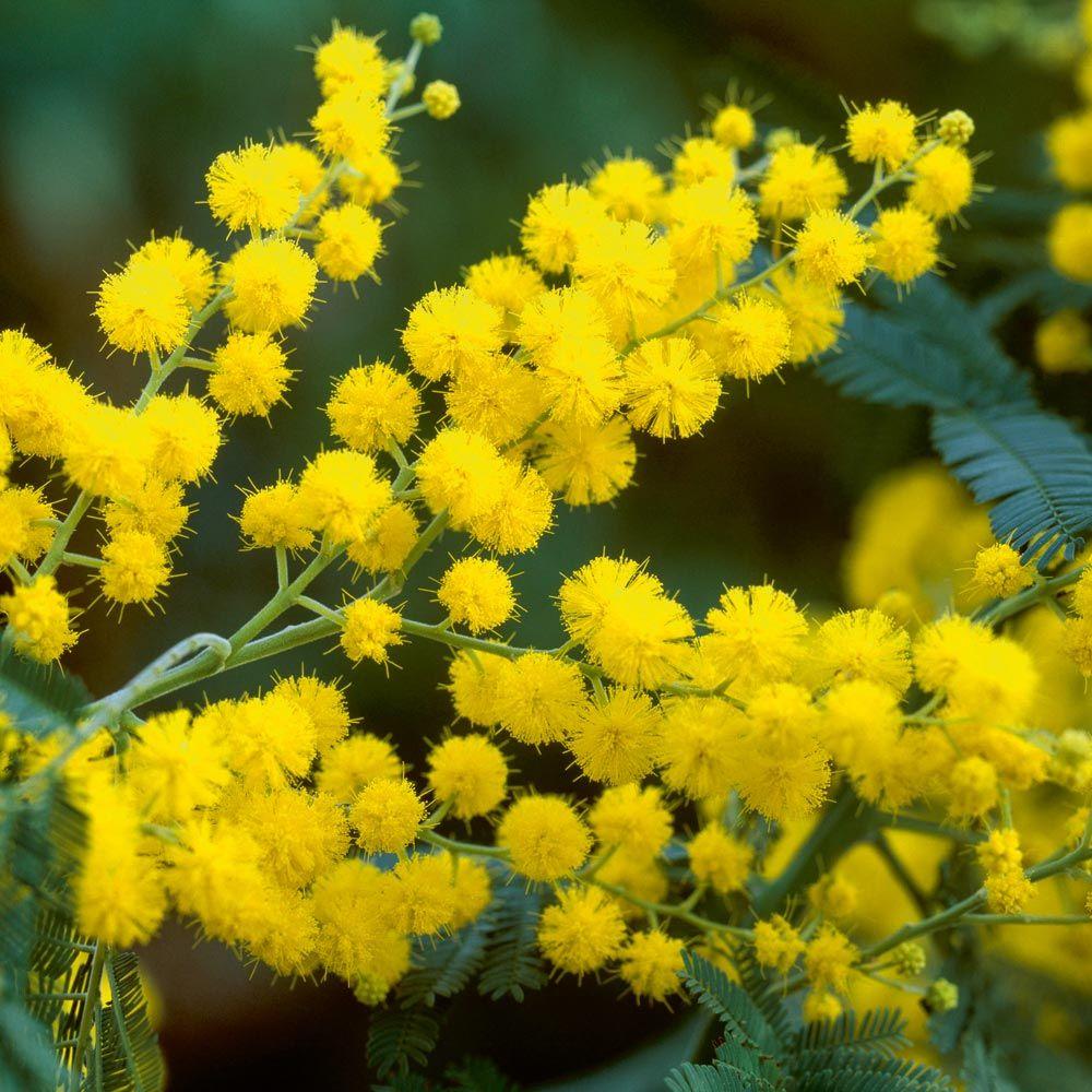"Small Trees For Borders: Mimosa ""Acacia Dealbata"""