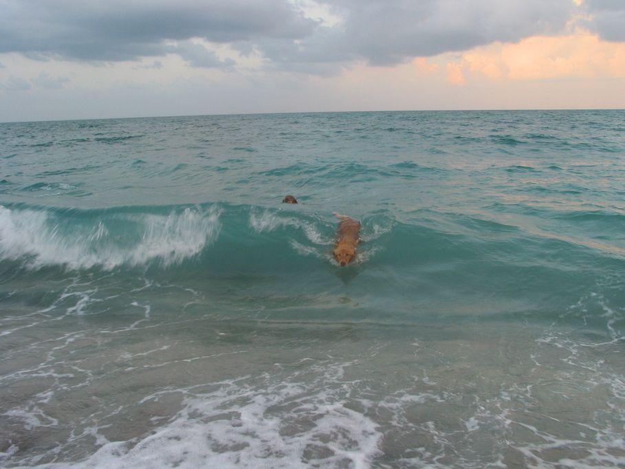Jupiter Fl Golden Retriever Body Surfing At Jupiter Dog Beach