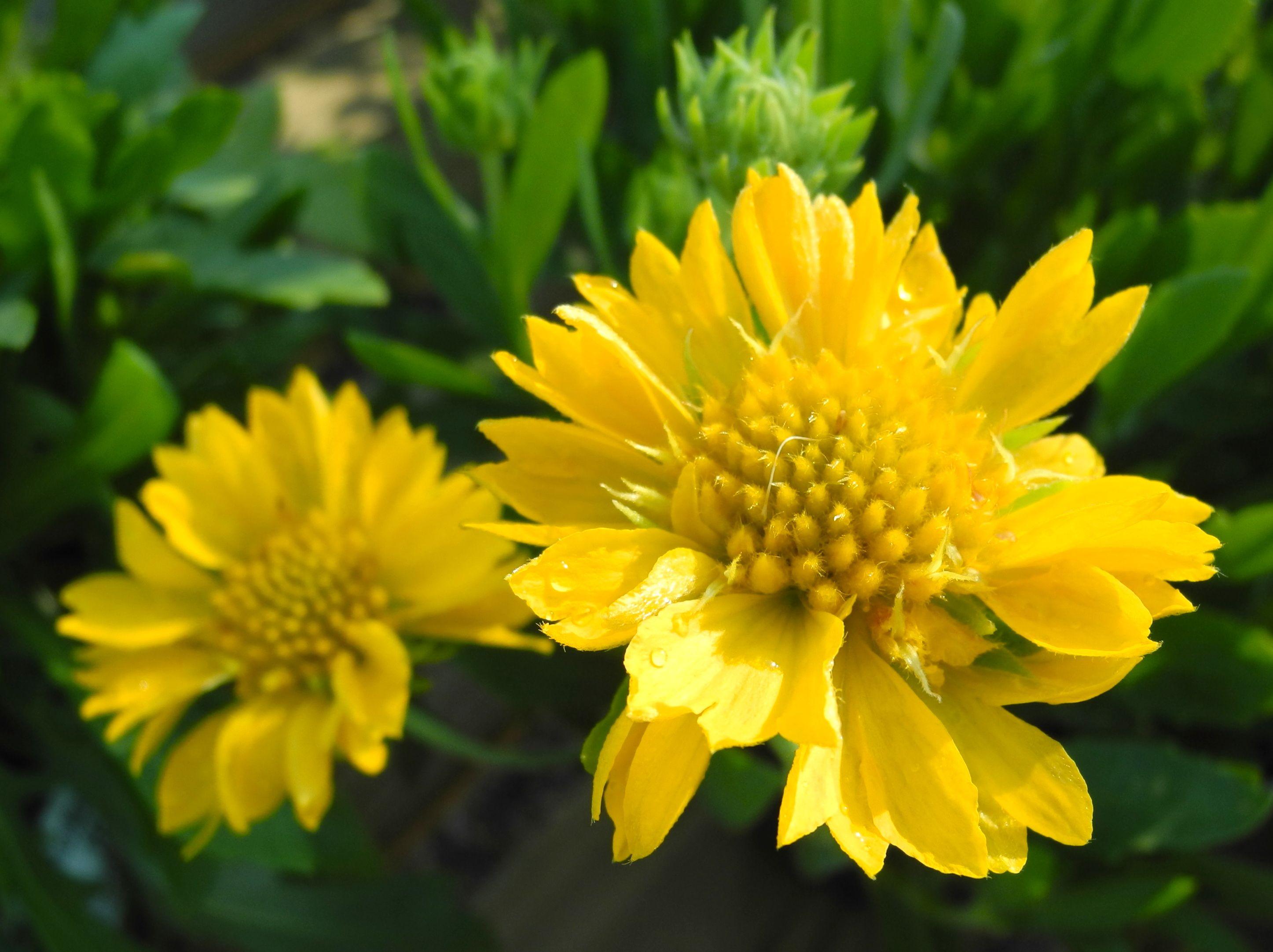 Blanket Flower Sunrita Yellow Gaillardia Aristata Gaillardia
