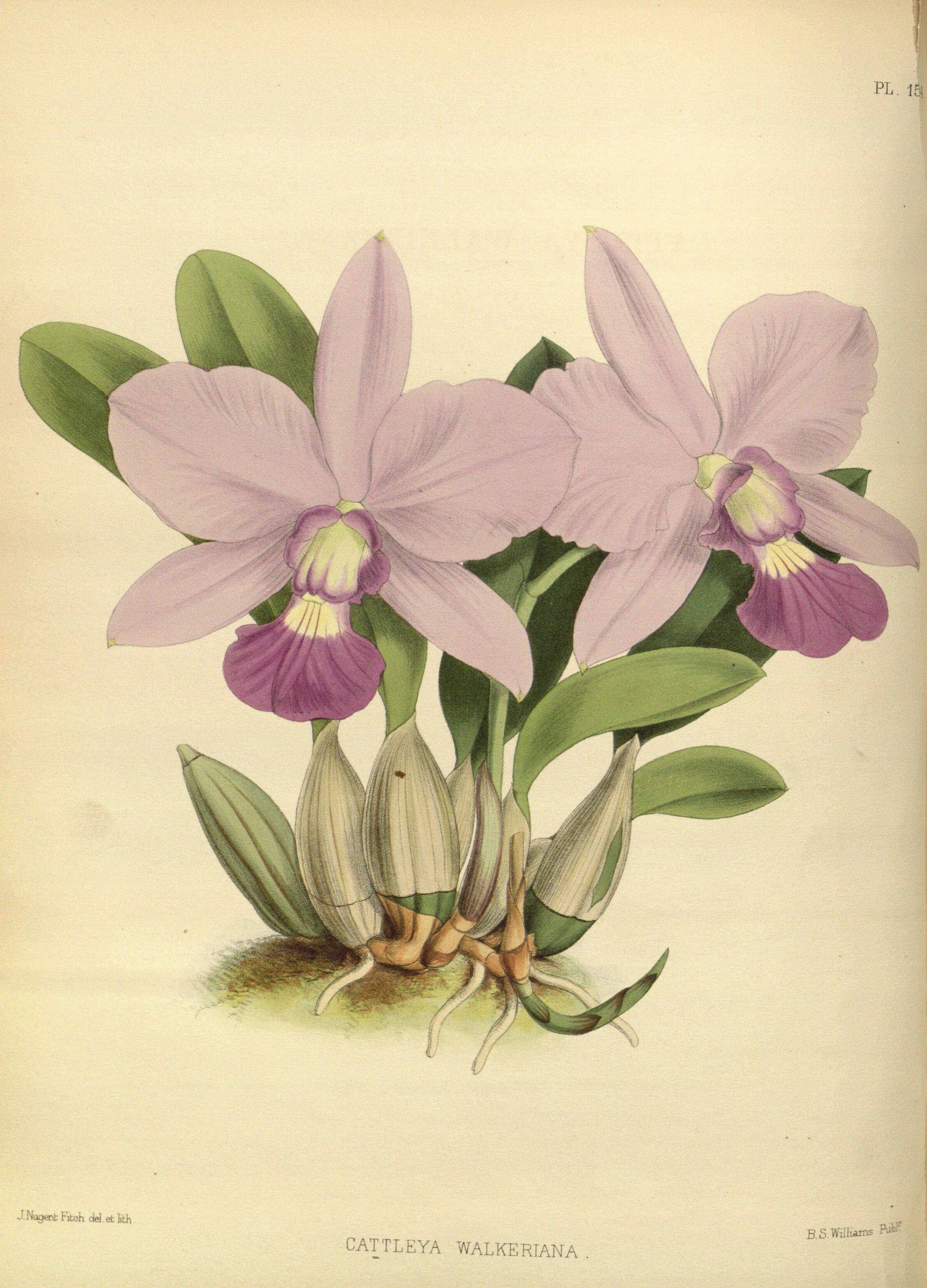 Cattleya Walkeriana - Circa 1875 Orchid Illustrations In 2019 Botanical