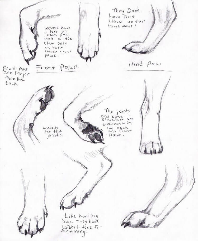 Photo of 18 How to Draw a Wolf References and Tutorials – Wolf Paw Anatomy